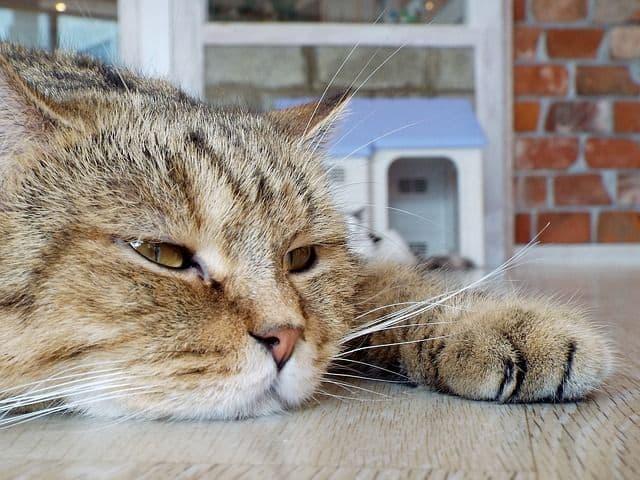 ¿Cómo se mide la temperatura a un gato?