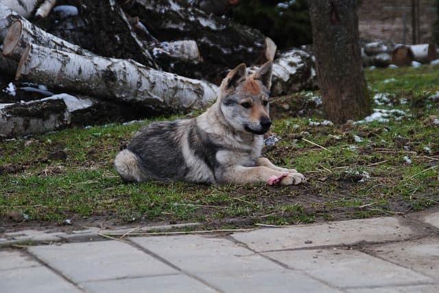 Cachorro lobo checoslovaco