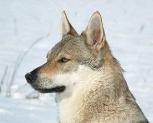 Razas de perros: Perro lobo checoslovaco 1