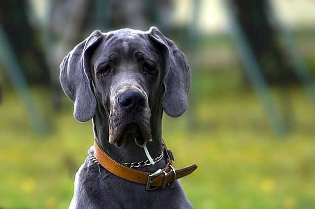 Mastín Napolitano cachorro