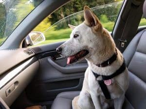 como podemos llevar al perro en el coche