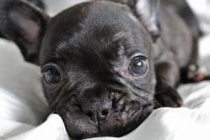 bulldog suelta poco pelo