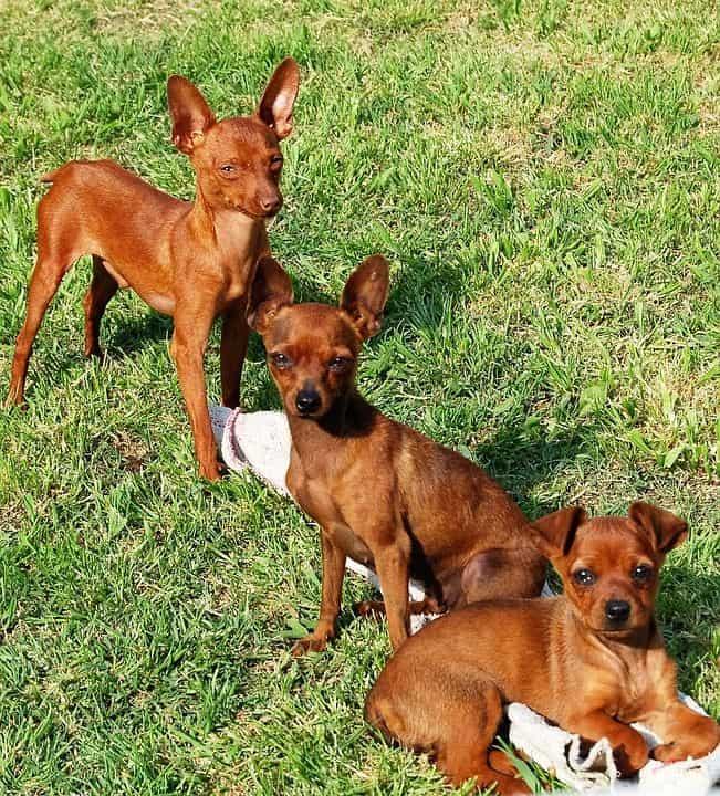 perros mini de pelo corto