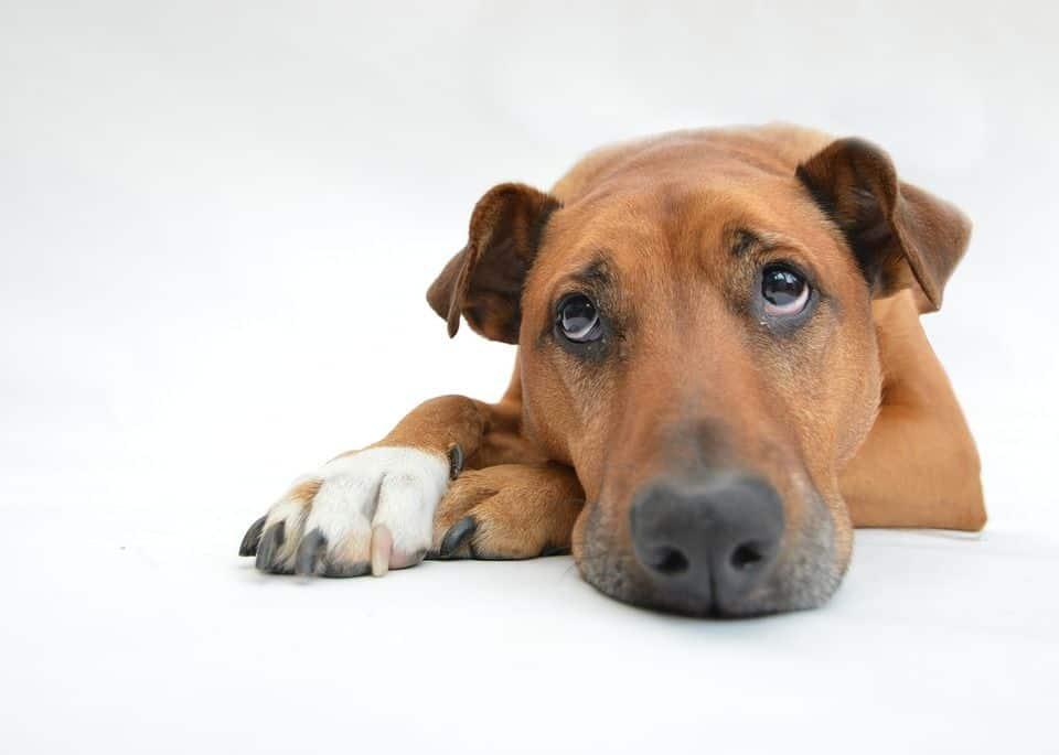 Los perros sufren problemas articulares