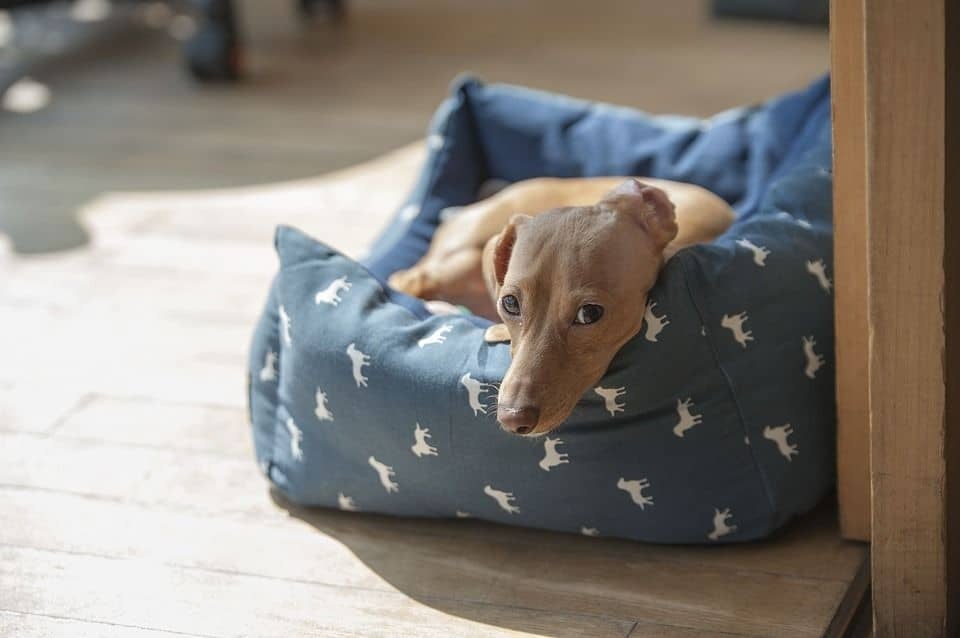 ¿Tienes un perro anciano o con displasia? Cómprale una buena cama