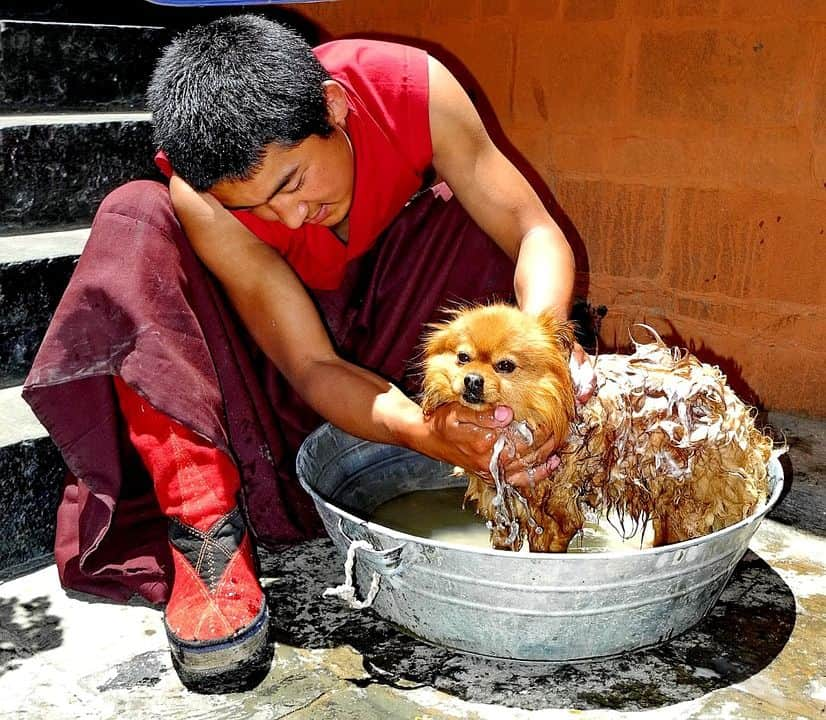 lavar al perro para cortarle el pelo