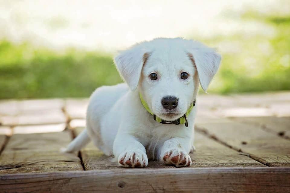 cachorro vacunas residencia