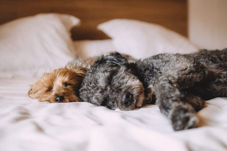 ¿Los perros roncan?