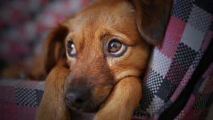 perro ronca por alergia