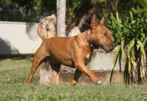 bull terrier corriendo
