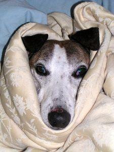 perro enfermo higado