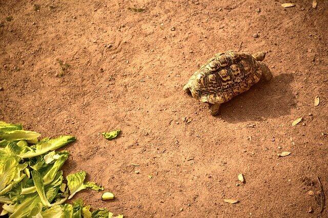 que comen tortugas de tierra