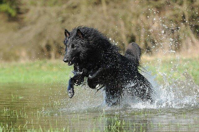 raza perro mediano