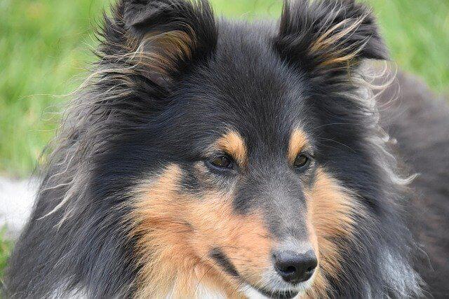 perro pastor mediano
