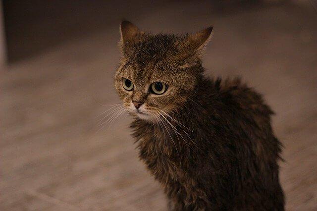 como bañar gato