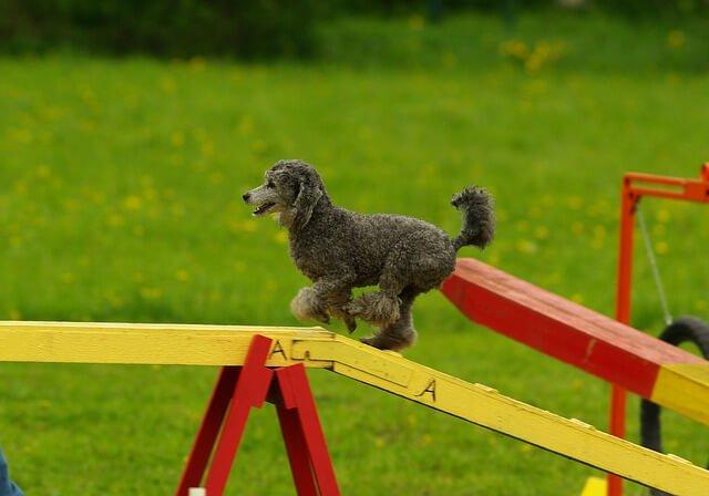 rampa agility canino