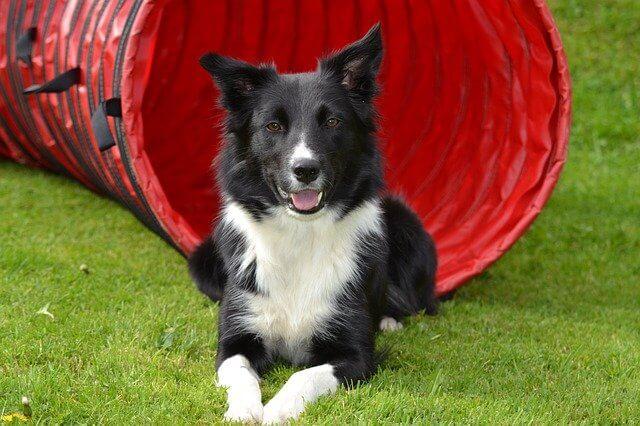 border collie perro pelo largo mediano