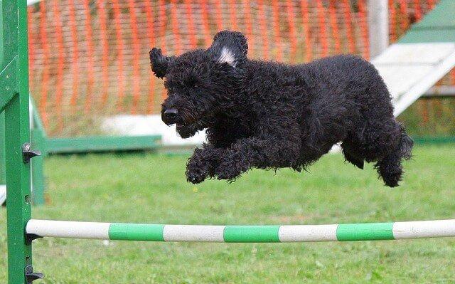 agility canino