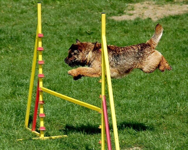 agility salto perro