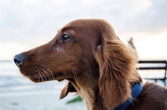 dachshund con el pelo largo