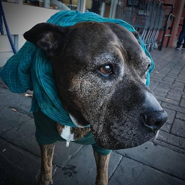 demencia en perros ancianos