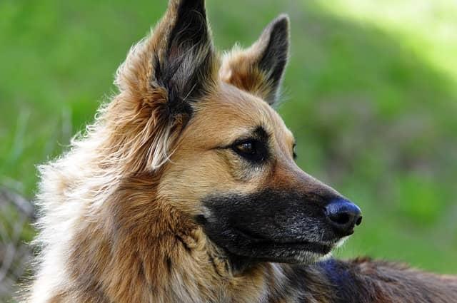 pelo largo perro